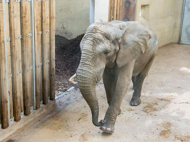 Elefantenbulle aus Ungarn im